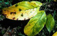 زرد شدن برگ گیاهان آپارتمانی ؛ علت و روش های پیشگیری