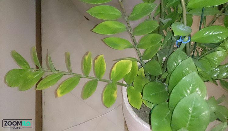 زرد شدن برگ گیاهان آپارتمانی
